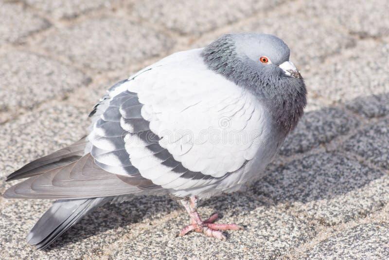 Dzicy gołębie w mieście ilustracji