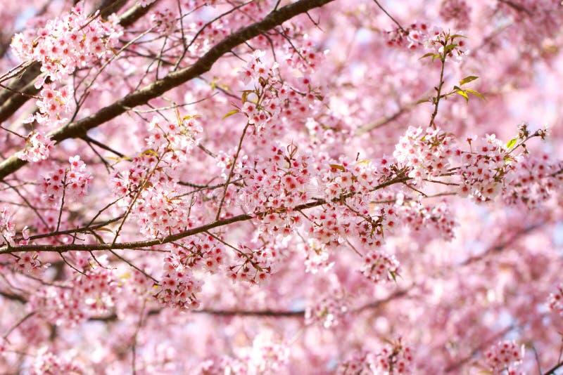 Dzicy Himalajscy Czereśniowi okwitnięcia w wiosna sezonu Prunus cerasoides, Sakura w Tajlandia obrazy stock