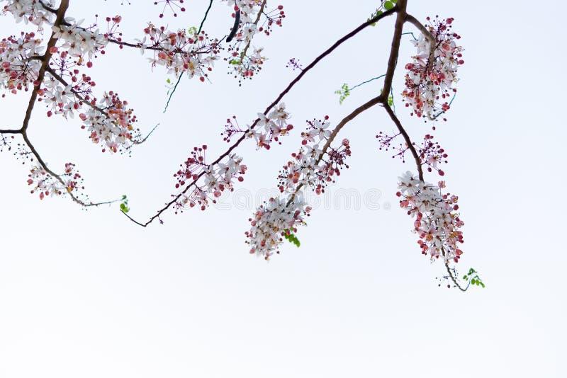 Dzicy Himalajscy Czereśniowi Prunus cerasoides kwitnie na białym nieba tle obrazy stock