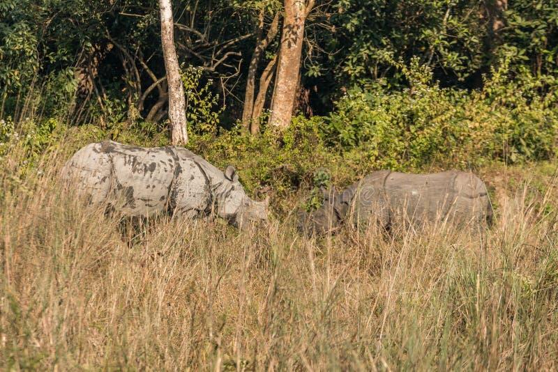 Dzicy Indiańskiej nosorożec nosorożec unicornis w Chitwan parku narodowym, Nepal zdjęcie royalty free