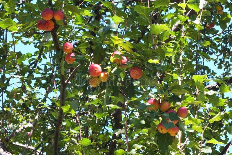 Dzicy jabłka, bardzo kwaśni zdjęcia royalty free