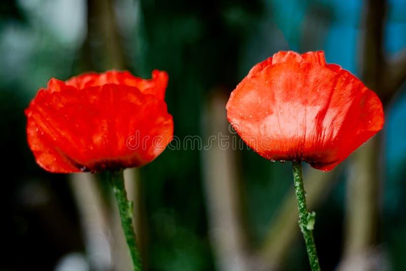 Dzicy jaskrawi czerwoni maczki kwitną w górę Natura obraz royalty free