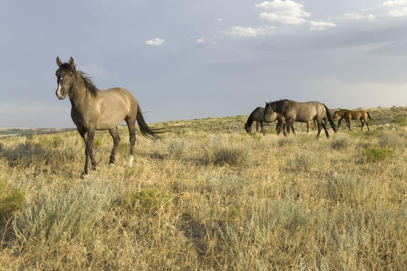 Dzicy konie zdjęcie royalty free