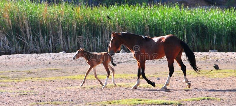 Dzicy konie Bawić się Dla zabawa bieg Swobodnie zdjęcia royalty free