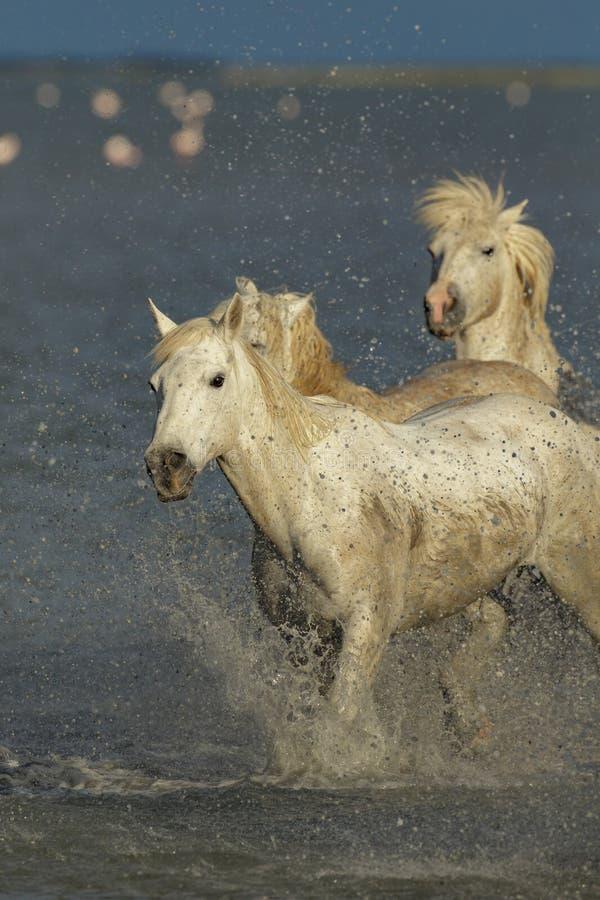 Dzicy konie Camargue zdjęcie stock