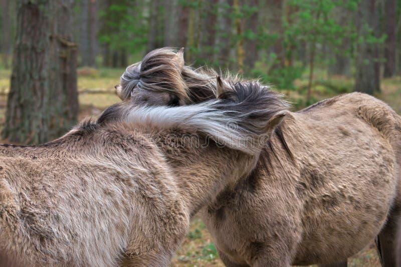 Dzicy konie dmucha w wiatrze z ich grzywy obrazy stock