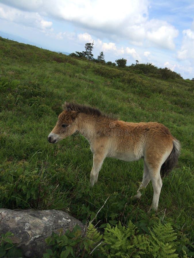 Dzicy konie Grayson średniogórzy stanu park Virginia/konik zdjęcie royalty free