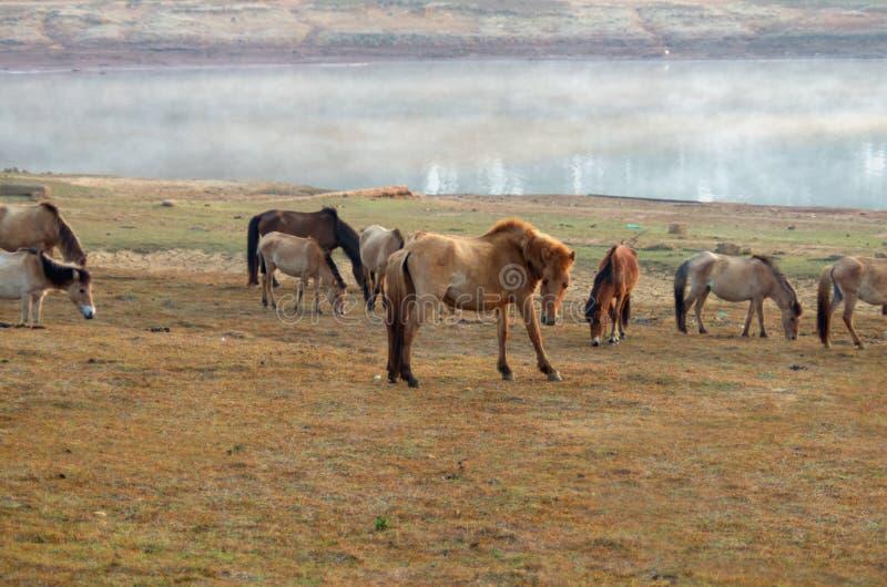 Dzicy konie i konik żywi w łąkowych stepach w jeziorze, zdjęcia royalty free