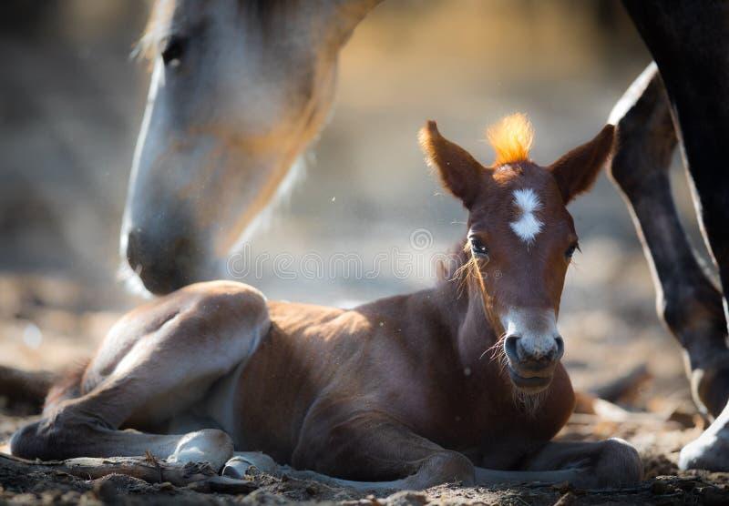 Dzicy konie & x28; Macierzysty Mustangs& x29 i źrebię; w Solankowej rzece, Arizona obrazy royalty free