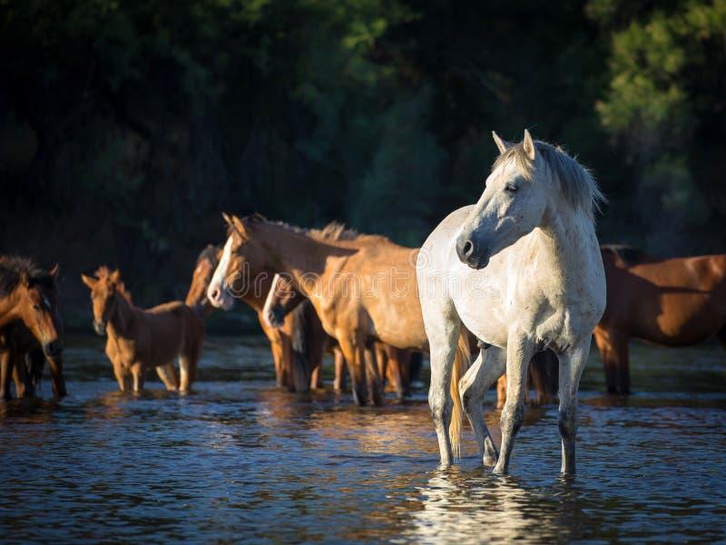 Dzicy konie & x28; Mustang& x29; w Solankowej rzece, Arizona zdjęcia stock