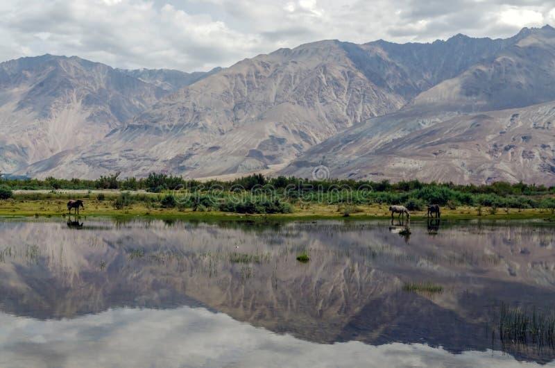 Dzicy konie na terenach zalewowy Nubra dolina zdjęcia royalty free