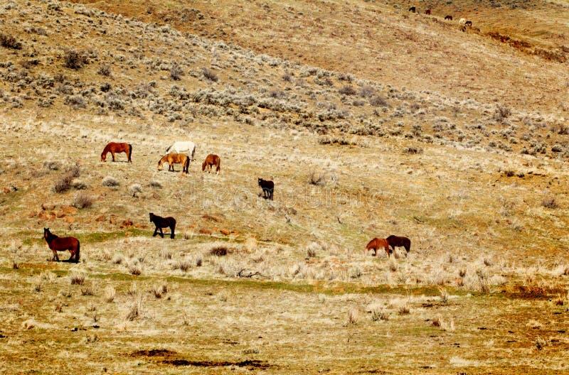 Dzicy konie na zboczu zdjęcie royalty free