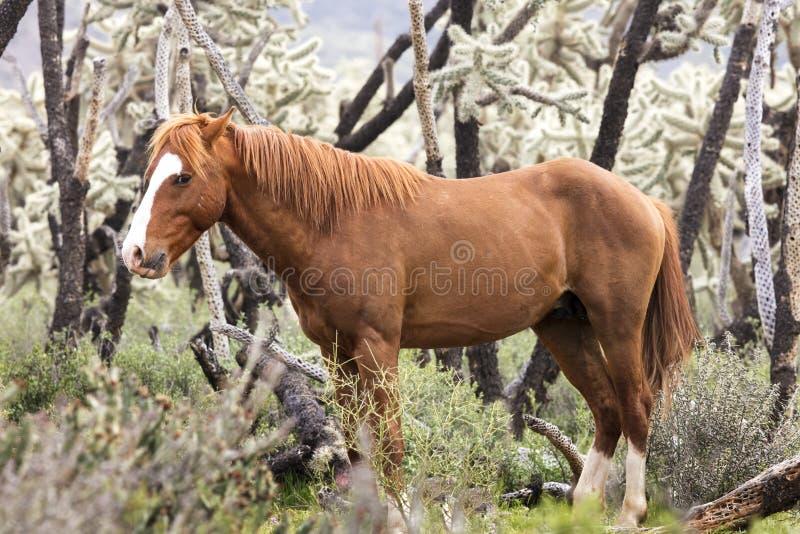 Dzicy konie Obniżają Solankową rzekę obraz stock