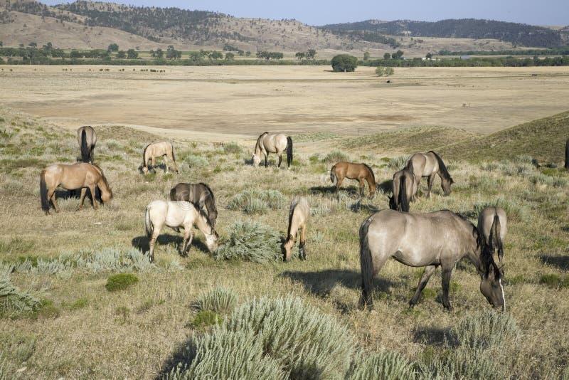 Dzicy konie przy Czarnymi wzgórzami zdjęcia stock