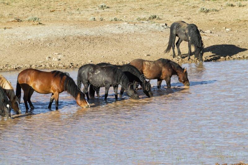 Dzicy konie przy wodopojem fotografia stock