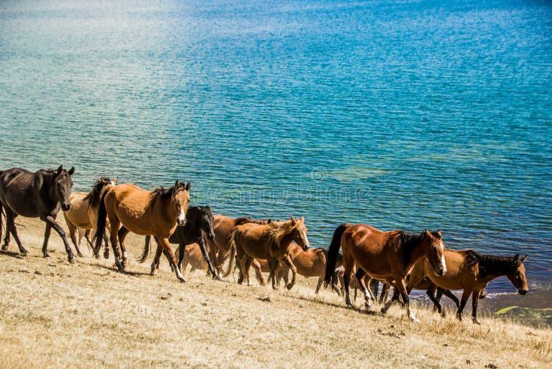 Dzicy konie są galopujący wzdłuż jeziora zdjęcia royalty free