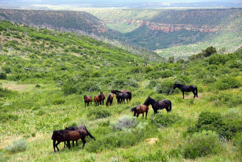 Dzicy konie uwalniają pasanie w Kolorado blisko mes Verde zdjęcie royalty free