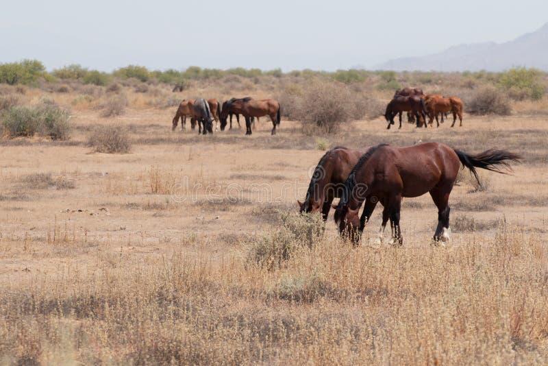 Dzicy konie w Arizona pustyni obrazy stock