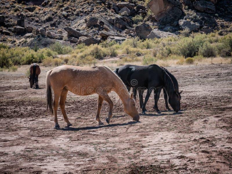 Dzicy konie w Kolorado, fotografia royalty free