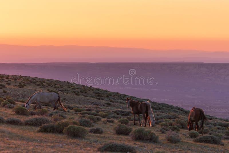 Dzicy konie w Kolorado pustyni przy wschód słońca fotografia royalty free