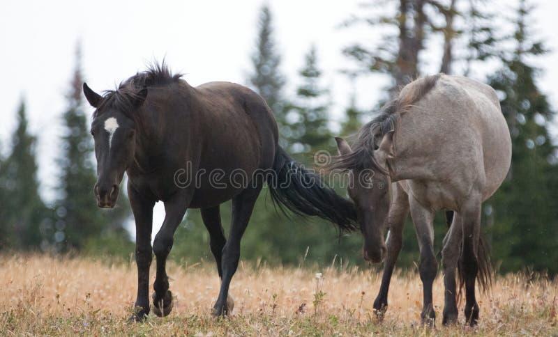 Dzicy konie w Montana usa - Młody Czarny ogier i potomstwa Grulla Szary ogier w Pryor gór Dzikim koniu Rozciągamy się obraz royalty free