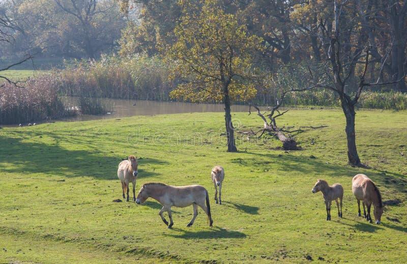 Dzicy konie w Węgierskim moorland zdjęcie stock
