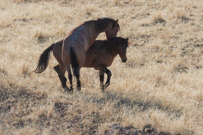 Dzicy konie Zaciera się w Utah obrazy royalty free