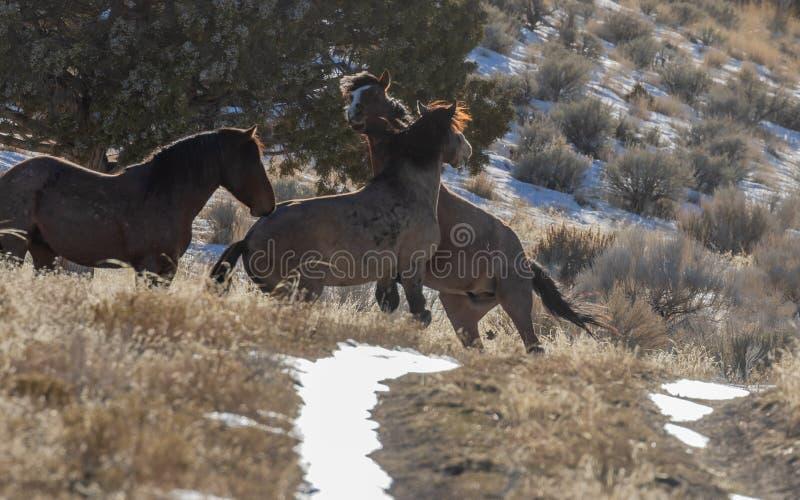 Dzicy konie Zaciera się w Utah zdjęcie royalty free