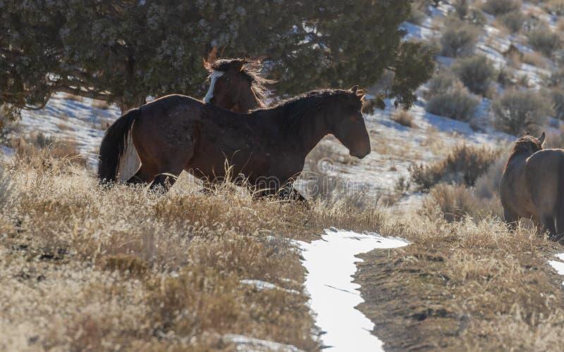 Dzicy konie Zaciera się w Utah w zimie zdjęcie royalty free