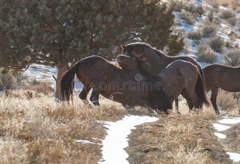 Dzicy konie Zaciera się w zimie w Utah obrazy stock