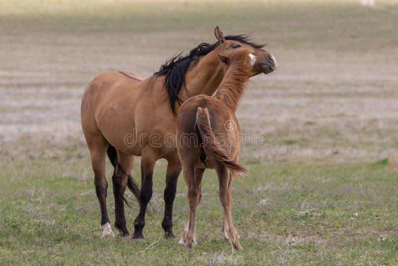 Dzicy konie Zaciera si? w pustyni fotografia royalty free