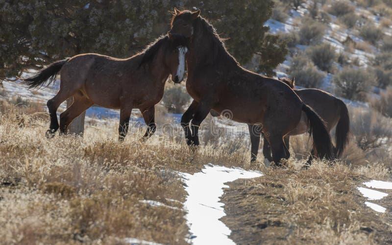 Dzicy konie Zaciera si? w Utah fotografia royalty free