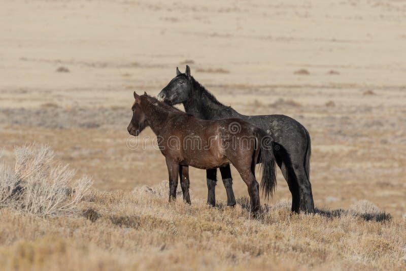 Dzicy konie Zaciera si? w Utah obraz royalty free