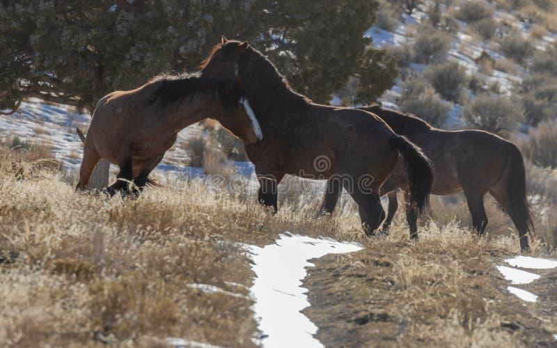 Dzicy konie Zaciera si? w Utah w zimie obrazy royalty free
