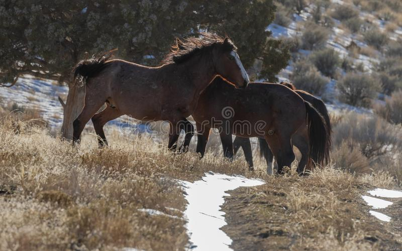 Dzicy konie Zaciera si? w Utah w zimie zdjęcie stock
