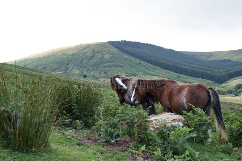Dzicy koniki, wietrzny dzień, brecon bakanów park narodowy fotografia royalty free