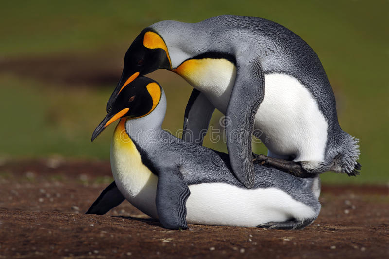 Dzicy kotelni królewiątka pingwiny z zielonym tłem obrazy royalty free
