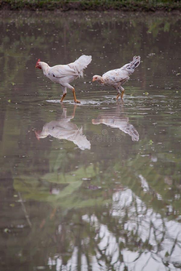 Dzicy kurczaki chodzi w płytkiej wodzie zdjęcia stock