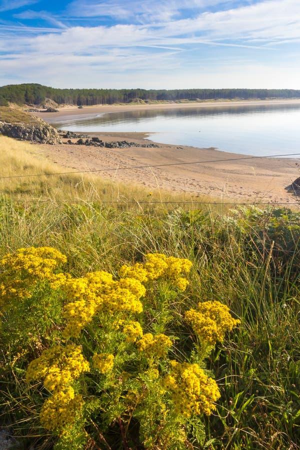 Dzicy kwiaty na Llandwyn, wyspa fotografia royalty free