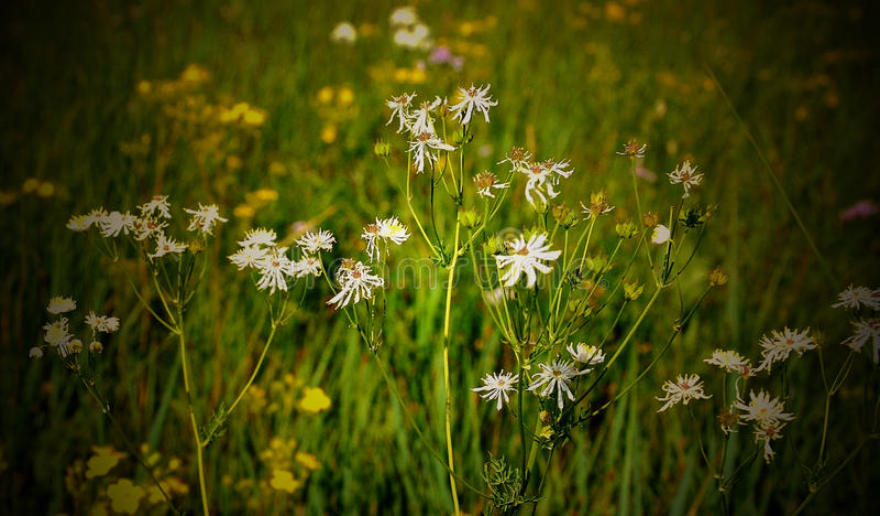 Dzicy kwiaty na obszarze trawiastym obraz royalty free