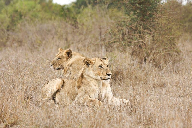Dzicy lwy, Kruger park narodowy, POŁUDNIOWA AFRYKA obrazy royalty free