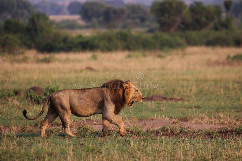 Dzicy lwy w stepie Afryka Uganda zdjęcia royalty free