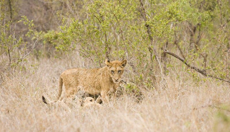 Dzicy młodzi lwy, Kruger park narodowy, POŁUDNIOWA AFRYKA fotografia royalty free