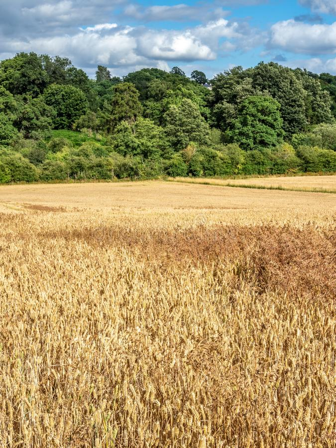 Dzicy owsy, Avena fatua Ziemi uprawnej świrzepa, Anglia zdjęcia royalty free