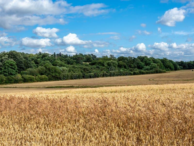 Dzicy owsy, Avena fatua Ziemi uprawnej świrzepa, Anglia fotografia royalty free