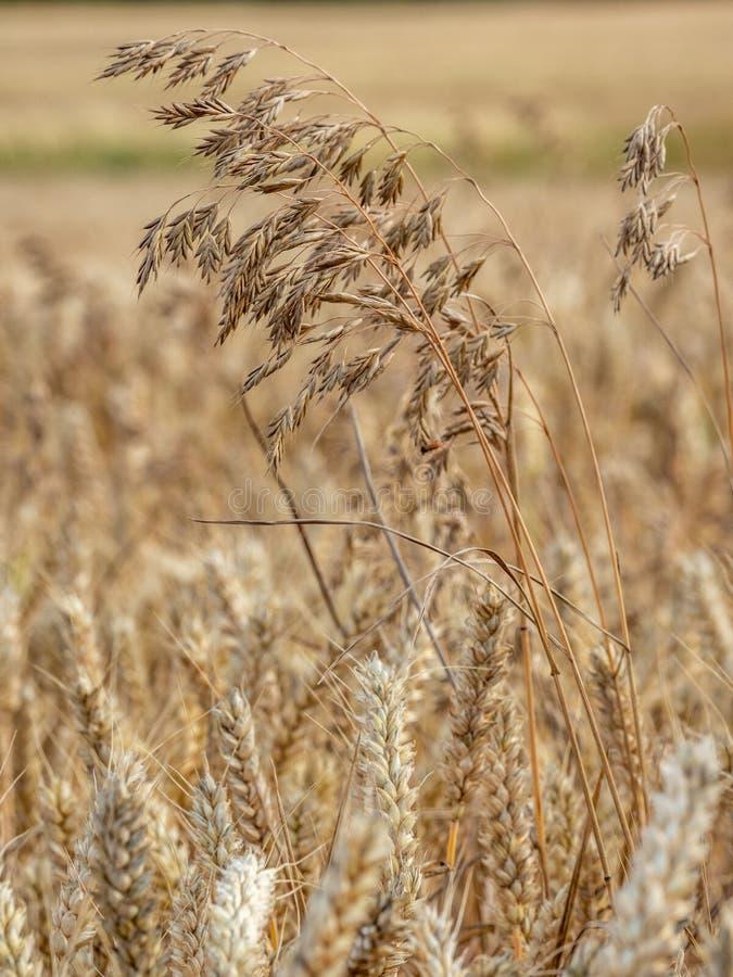 Dzicy owsy, Avena fatua Ziemi uprawnej świrzepa, Anglia zdjęcie royalty free