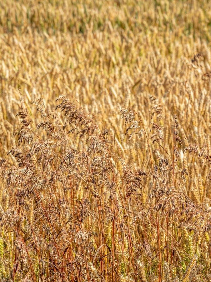 Dzicy owsy, Avena fatua Ziemi uprawnej świrzepa, Anglia zdjęcie stock