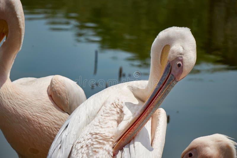 Dzicy pelikany na jeziorze obrazy royalty free