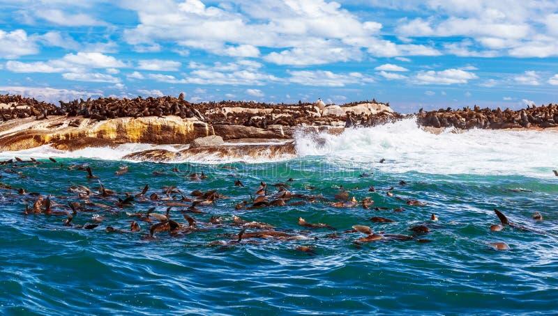 Dzicy południe - afrykanin foki fotografia royalty free