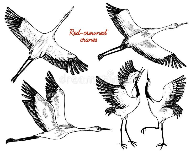 Dzicy ptaki w locie Zwierzęta w naturze w niebie lub Żurawie, Grus, bocian, shadoof lub Ciconia z skrzydłami royalty ilustracja